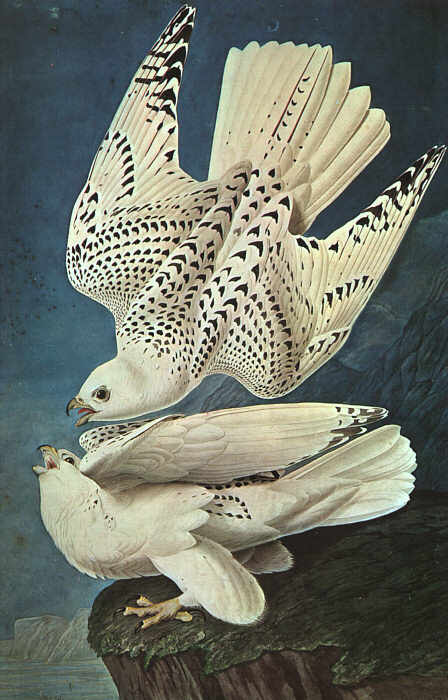 White_Gerfalcons