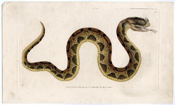 Horn-nosed-snake